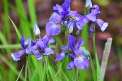 Iris sibirica. Jogailos Mackevičiaus nuotrauka