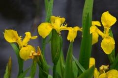 Iris pseudacorus. Jogailos Mackevičiaus nuotrauka