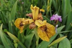 Iris pseudacorus 'Berlin Tiger'
