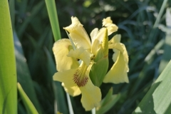 Iris pseudacorus 'Sea Krill'