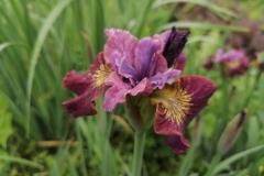 Iris sibirica 'Miss Apple'