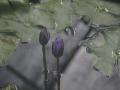 Nymphaea cyanea 02
