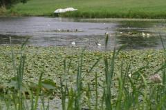 Plaumuonės stengiasi apsupti vandens lelijas
