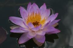 'Siam Purple'
