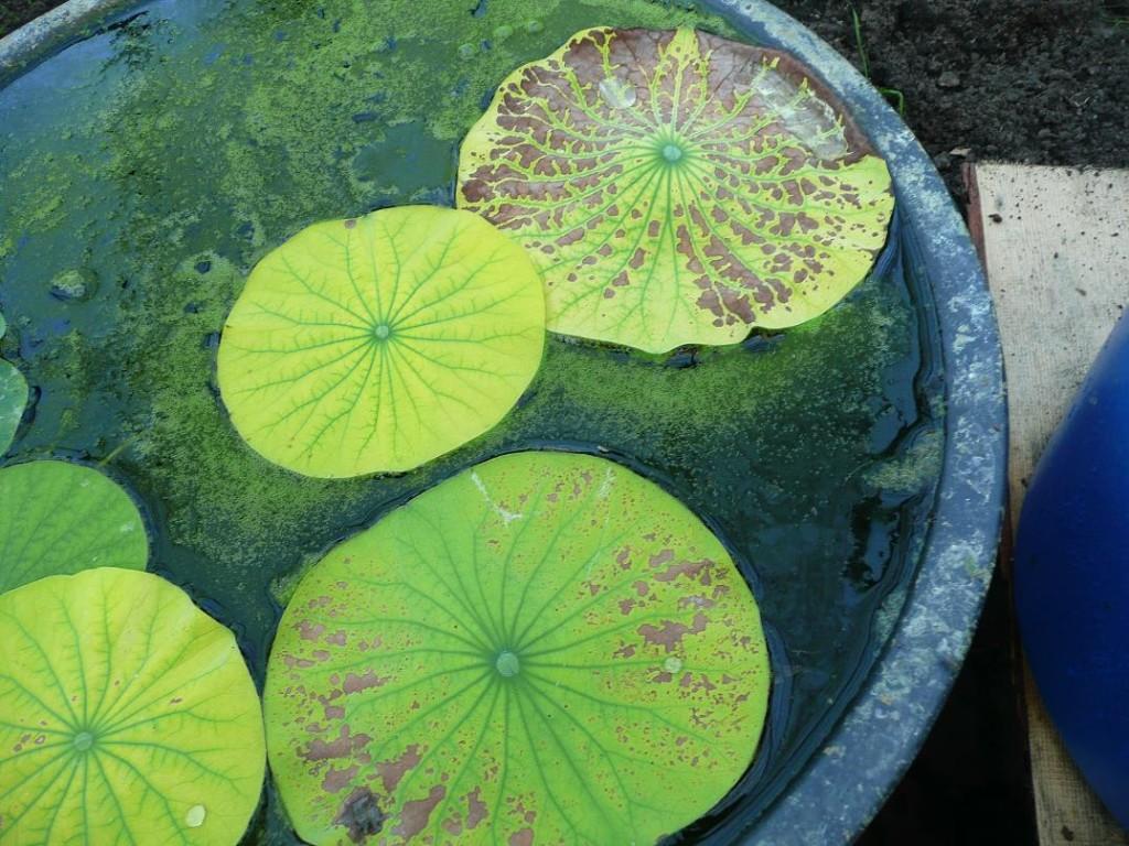 Šaltas vanduo ir chlorozė