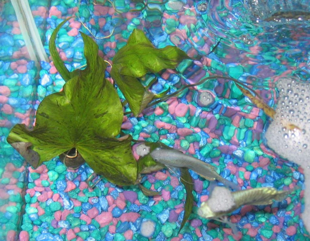 nymphaea-lotus-is-often-used-as-an-aquarium-plant