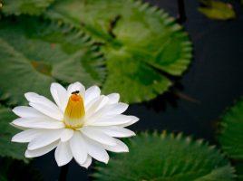nymphaea_lotus1xmatt