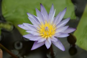 1 pav. Mėlynojo Nilo lotoso žiedai