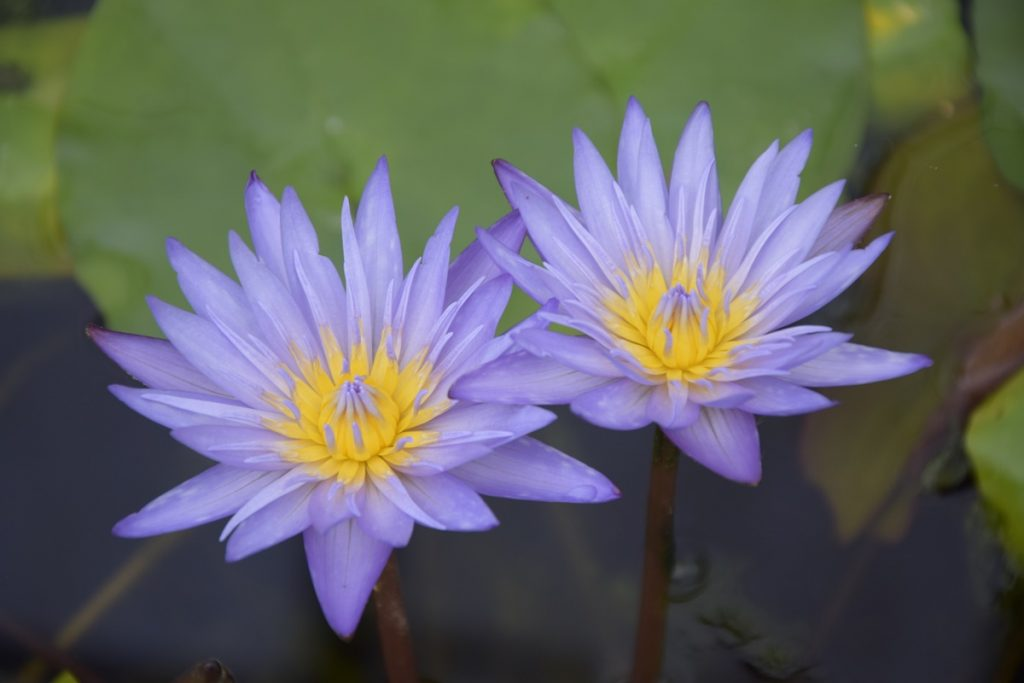 Nuostabūs šventojo Nilo lotoso žiedai
