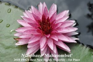 Pirma vieta Nymphaea 'Mahasombut' autorius - Nattawut Rodboot (Tailandas)
