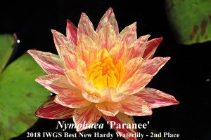 Antra vieta Nymphaea 'Paranee' autorius - Miss Paranee Ampornsiri (Tailandas)