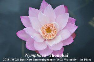 Pirma vieta - Nymphaea 'Thongkai', autorius - Nopchai Chansilpa (Tailandas)