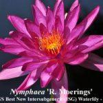 Trečia vieta - Nymphaea 'R. Moerings', autorius - Florida Aquatics (JAV)