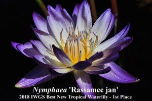 Pirma vieta - Nymphaea 'Rassamee jan' , autorius - Mrs Pojjanee Thongbai (Tailandas)