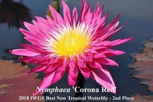 Antra vieta - Nymphaea 'Corona Red', autorius - Jakkaphong Sangngam (Tailandas)