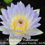 Trečia vieta - Nymphaea 'Fahtawan', autorius - Nopchai Chansilpa (Tailandas)