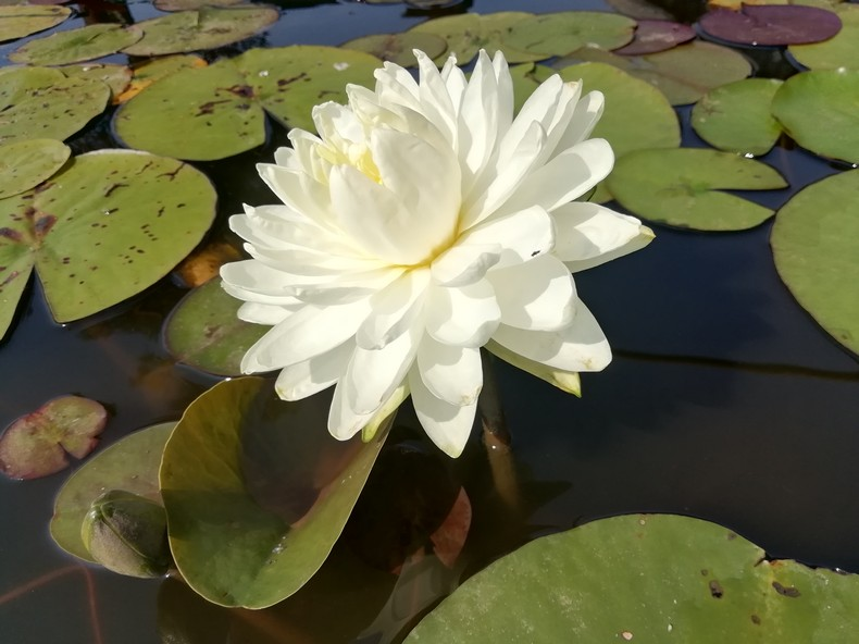 'White 1000 petals'